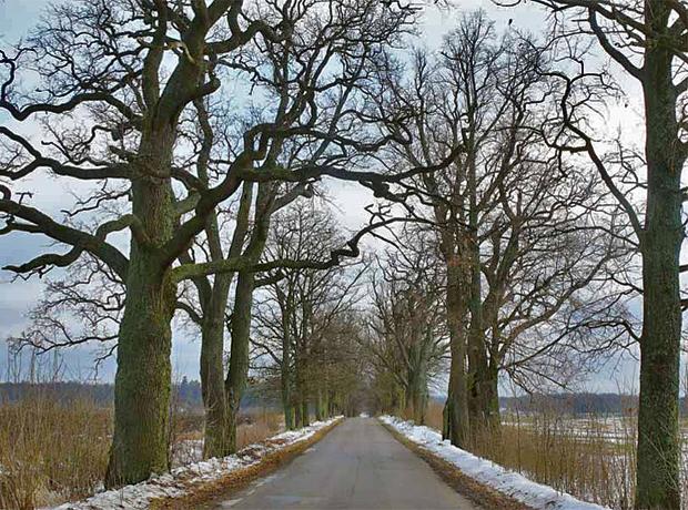 Pomnikowa aleja 152 pięknych dębów to jedna z nielicznych chronionych prawem alei na Mazurach, Kamionka Wielka–Sztynort, powiat węgorzewski. Fot. D. Worobiec