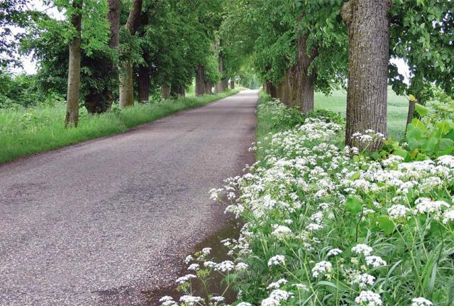 Aleje przydrożne stanowią przestrzeń życiową dla wielu gatunków zwierząt i roślin. Lipowa aleja w powiecie ełckim. Fot. K. Worobiec.