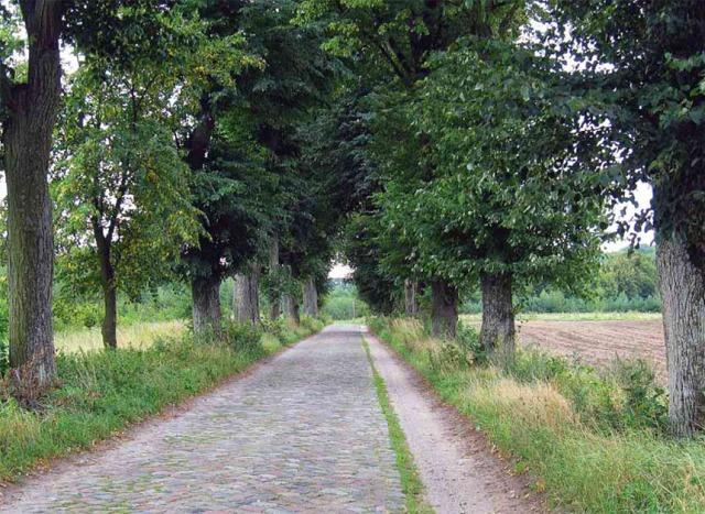 Brukowana droga z aleją lipową prowadząca z Rychlik do Buczyńca. Po prawej widoczna tzw. droga letnia. Fot. W. Knercer