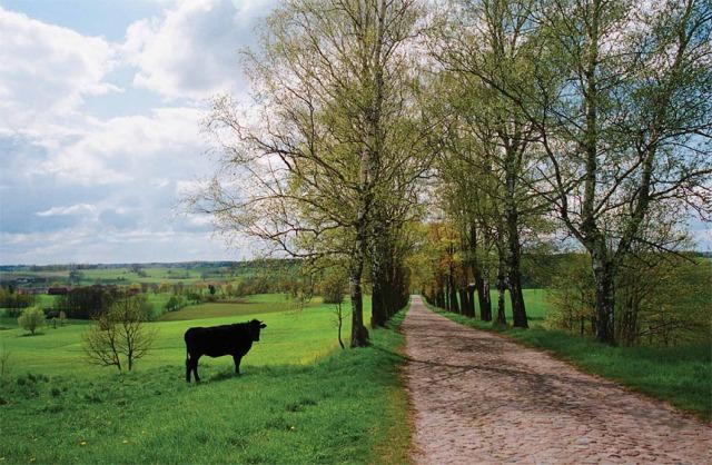 Aleja przy brukowanej drodze do Burszewa, pow. mrągowski (Fot. K. A. Worobiec)