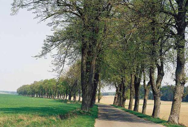 Aleja przy drodze Rączki–Łyna, pow. nidzicki. Podobnie jak inne aleje Warmii i Mazur stanowi ważny znak organizacji przestrzeni, ma znaczenie komunikacyjno-informacyjne, przyrodnicze, kompozycyjno-estetyczne, krajobrazowe oraz kulturowe. Fot. M. Zwierowicz