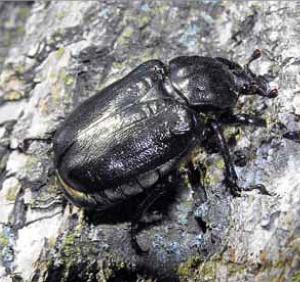 Pachnica dębowa (Osmoderma eremita) należy do najbardziej okazałych chrząszczy Polski (Fot. arch.)