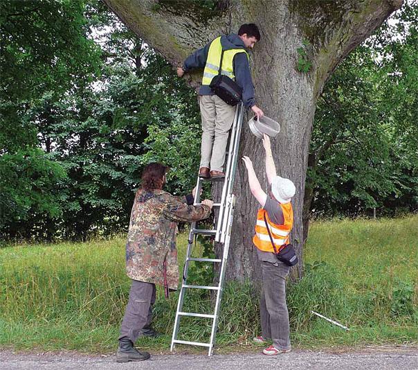 Podczas badań terenowych zgromadzono dane o ok. 3000 drzew przydrożnych i 35 gatunkach owadów w nich żyjących (Fot. K. A. Worobiec)