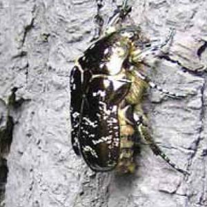Wepa marmurkowana Protaetia lugubris, rzadki i zagrożony gatunek, często zasiedla te same drzewa co pachnica dębowa (Fot. arch.)