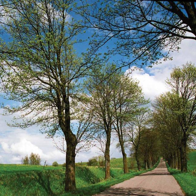 Aleje stanowią harmonijne uzupełnienie krajobrazu naturalnego. Droga Burszewo – Pilec, pow. mrągowski (Fot. K. A. Worobiec)