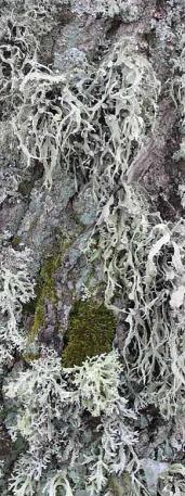 Pnie drzew porastają liczne gatunki mchów i porostów, w tym także rzadkie i chronione (Fot. K. A. Worobiec)