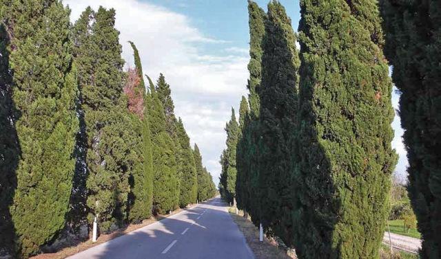 Włochy (Friuli), aleja cyprysowa (Fot. K. A. Worobiec)