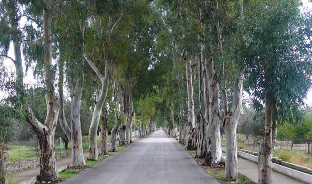 Grecja – eukaliptusowa aleja na Rodos (Fot. K. A. Worobiec)