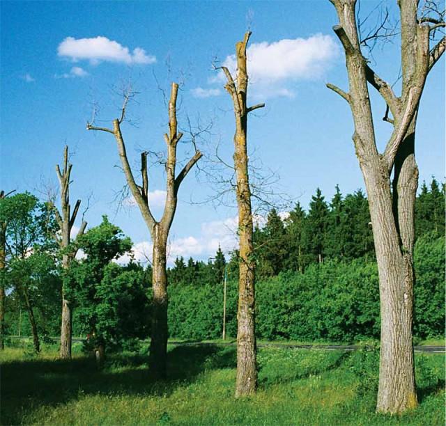 Nieprawidłowe cięcia doprowadziły do osłabienia i uschnięcia drzew, Ostrołęka (Fot. K. A. Worobiec)