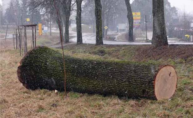 Ten ścięty jesion przydrożny trafi do tartaku, Mrągowo 2007 r. (Fot. K. A. Worobiec